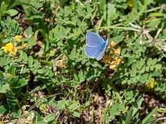 Turquoise Blue (ArtFrames) Tags: butterfliesofswitzerland naturetrek swiss butterflies turquoiseblue