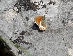 Alpine Heath (ArtFrames) Tags: butterfliesofswitzerland naturetrek swiss butterflies