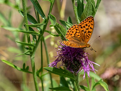High Brown Fritillary (ArtFrames) Tags: butterfliesofswitzerland naturetrek swiss butterflies