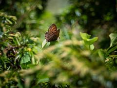 Violet Copper (ArtFrames) Tags: butterfliesofswitzerland naturetrek swiss butterflies violetcopper