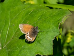 Alpine heath (ArtFrames) Tags: butterfliesofswitzerland naturetrek swiss butterflies alpine heath