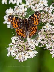 Map Butterfly - spring form (ArtFrames) Tags: butterfliesofswitzerland naturetrek swiss butterflies map butterfly spring form