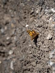 Chequered Skipper (ArtFrames) Tags: butterfliesofswitzerland naturetrek swiss butterflies chequeredskipper
