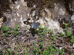 Large Blue (ArtFrames) Tags: butterfliesofswitzerland naturetrek swiss butterflies large blue