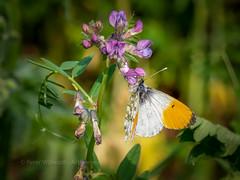 Orange Tip (ArtFrames) Tags: butterfliesofswitzerland naturetrek swiss butterflies orangetip