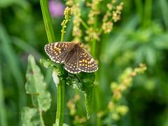 False Heath Fritillary (ArtFrames) Tags: butterfliesofswitzerland falseheathfritillary naturetrek swiss butterflies