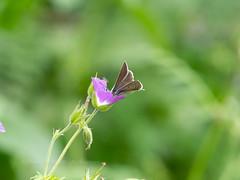 Geranium Argus (ArtFrames) Tags: butterfliesofswitzerland geraniumargus naturetrek swiss butterflies