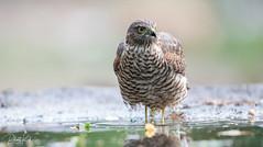 Eurasian Sparrow Hawk / Sperwer (1). (Jambo53 ()) Tags: sperwer crobertkok nikond800 nikon500mmf4 eurasiansparrowhawk sparrowhawk accipiternisus