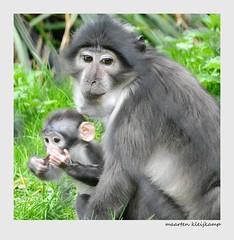 SELFIE (Maarten Kleijkamp) Tags: primates love nature eyes selfie recognition zoo animals