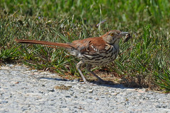 Brown Thrasher with Insect (annette.allor) Tags: roadside bird brown thrasher insect bug