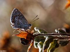 Polyommatus bellargus (Mauro Hilário) Tags: butterfly beautiful nature wildlife portugal lepidoptera macro closeup orange morning dof depth field insect invertebrate adonis blue polyommatus bellargus