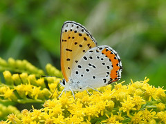 Bronze Copper (annette.allor) Tags: butterfly lycaenahyllus insect macro