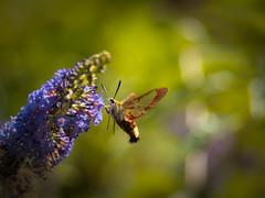 Be my Guest! (ursulamller900) Tags: hummelschwärmer hemarisfuciformis pentacon28100 mygarden bokeh butterfly schmetterling insekt summer sommer