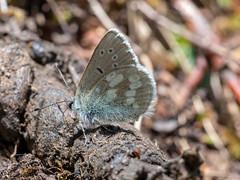 Alpine Blue (ArtFrames) Tags: alpineblue butterfliesofswitzerland naturetrek swiss butterflies