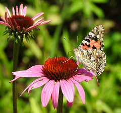 Painted Lady on Cone Flower (annette.allor) Tags: butterfly cone flower