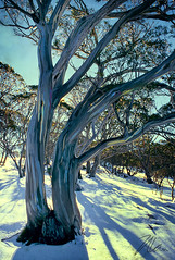Snow Gum 1 (caralan393) Tags: snow snowgum shadows winter backlight