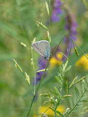 Mazarine Blue (ArtFrames) Tags: butterfliesofswitzerland naturetrek swiss butterflies mazarine blue