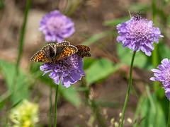 A pair of False Heath fritillaries (ArtFrames) Tags: butterfliesofswitzerland naturetrek swiss butterflies false heath fritillaries