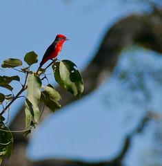 Scarlet Flycatcher (Pyrocephalus rubinus) male ... (berniedup) Tags: pousoalegre transpantaneira poconé pantanal scarletflycatcher pyrocephalusrubinus flycatcher taxonomy:binomial=pyrocephalusrubinus red bird tyrannidae