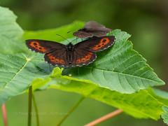 Arran Brown and Bright-eyed Ringlet (ArtFrames) Tags: butterfliesofswitzerland naturetrek swiss butterflies arran brown brighteyed ringlet