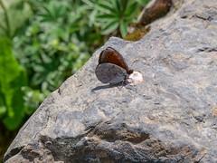 Dewy Ringlet (ArtFrames) Tags: butterfliesofswitzerland dewyringlet naturetrek swiss butterflies