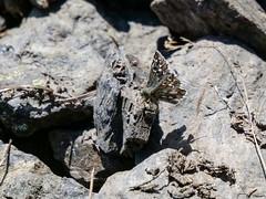 Alpine Grizzled Skipper (ArtFrames) Tags: alpinegrizzledskipper butterfliesofswitzerland naturetrek swiss butterflies