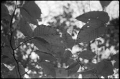 (Armin Schuhmann) Tags: zeiss 35mm vintage mtl jena automn carl vintagecamera flektogon agfa praktica apx f28 yellowfilter 2018 carlzeiss 2835 czj mtl3 3528 vintagelens carlzeissjena blackandwhite bw canada film leaves analog blackwhite leaf focus noiretblanc quebec bokeh scan m42 sw pelicula analogue rodinal schwarzweiss northeast analogica argentique filmscan estrie 1100 analogic easterntownships selfdeveloped screwmount filmphotography analogico shootfilm schwarzweis filmphoto filmisnotdead analogo believeinfilm buyfilmnotmegapixels trees nature maple foliage beech zebra пленка apx400 400asa