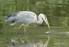 Grey Heron (alison brown 35) Tags: grey heron water bird wader penningtonflash countrypark leigh uk fish fishing wildlife wild alisonbrown35 greenheart ngc