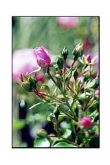 Roses (JJDuvoisin) Tags: canon al1 ektar