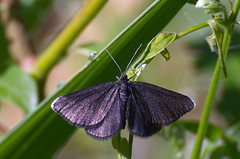 Nõgivaksik; Odezia atrata; Chimney Sweeper (urmas ojango) Tags: lepidoptera liblikalised insecta putukad insects moth vaksiklased geometridae nationalmothweek nõgivaksik odeziaatrata chimneysweeper