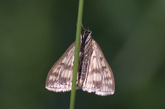 Sitochroa verticalis (urmas ojango) Tags: lepidoptera liblikalised insecta insects putukad moth rohuleediklased crambidae nationalmothweek sitochroaverticalis