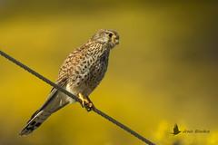 Cernícalo primilla hembra (Falco naumanni) (jsnchezyage) Tags: cernícaloprimilla falconaumanni ave pájaro bird birding birdwatching ornithology beak feather lesserkestrel kestrel ngc npc