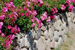 Unserm Herrn sei Preis und Ehre (amras_de) Tags: schleswigholstein nordfriesland friesland frísia frisia friisia frise frizija groterfriesland fryzjafryslân freesland fraschlönj amrum wittdün mauer muur paret zed væg wall muro pared seinä mur balla zid fal veggur atitvara siena vegg muru waw duvar rose rosen ruža rosa ruže rozo roos arrosa ruusut rós rózsa rože rozes rozen roser róza trandafir vrtnica rossläktet gül