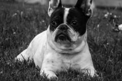 Observation Mode (Lea Ruiz Donoso) Tags: bulldogfrancés frenchbulldog alerta alertness hound dog close closeup bw blancoynegro blackandwhite fotografía callejera streetphotography coolpix s9700 nikon