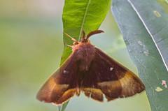 Tammekedrik; Lasiocampa quercus; Oak Eggar ♂ (urmas ojango) Tags: lepidoptera liblikalised insecta putukad insects moth kedriklased lasiocampidae nationalmothweek tammekedrik lasiocampaquercus oakeggar
