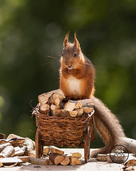 young red squirrel standing on a wheelbarrow loaded with firewood (Geert Weggen) Tags: day eating firewood food grass hand horizontal meal metal old photography picnic sweden rusty summer wheel wheelbarrow fire wood tree nopeople eurasianredsquirrel autumn animalwildlife animalsinthewild outdoors woodland work squirrel load wagon transportation young vertical bispgården jämtland geert weggen hardeko ragunda