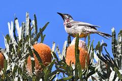 Red Wattlebird (philk_56) Tags: western australia perth lake gwelup reserve bird red wattlebird banksia flower plant