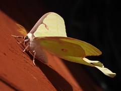 1517ex  Luna Moth macro (jjjj56cp) Tags: moth lunamoth inthewild closeup macro details antennae featheredantennae sideview summer july tennessee smokymountains palegreen p1000 coolpixp1000 nikoncoolpixp1000 jennypansing