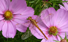 Shine on you crazy..... dragonfly (joeke pieters) Tags: 1480665 panasonicdmcfz150 libel dragonfly insect cosmos cosmea bloem flower coth5