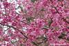 "Flowering ""Sakuras"", as in Japan, Jandira, SP, Brazil (Sebastiao P Nunes) Tags: prunuspersica rosaceae peach pessego durazno melocoton lumixfz300 panasonic nunes snunes spnunes spereiranunes foresthills sakura japanesecherry cherryblossom prunusserrulata hiragana cerejeira"