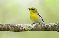 Yellow-throated vireo.Lake hope Ohio. (mandokid1) Tags: canon 1dx ef600mm11 birds