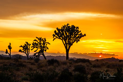 Joshua Trees and the Setting Sun (Mimi Ditchie) Tags: joshuatree joshuatreenationalpark sunset clouds joshuatrees landscape sun silhouettes golden goldenlight national outside nature getty gettyimages mimiditchie mimiditchiephotography
