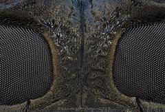 longhorneyes1© (hasankutaygündoğan) Tags: macro makro macrophotography mitutoyo microscope longhornbeetle monochamussutor cerambycidae focusstacking extrememacro entomology insects insect sonybody
