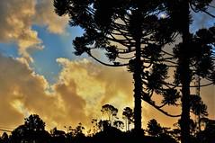 Outra tarde FRIA de inverno! 17° (Ruby Augusto) Tags: araucariatree araucária sunset pôrdosol silhuetas silhouettes camposdojordãosp