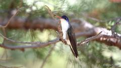 Violet-Crowned Hummingbird In Miller Canyon (Nicolas Forestell) Tags: bird birds nikon hummingbird hummingbirds tamron sierravista trochilidae birdphotography millercanyon huachucamountains wildlifephotography violetcrownedhummingbird huachucas nikond5600 amaziliavioliceps amazilia