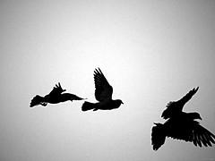 Variaciones en un Instante (Luicabe) Tags: airelibre animal ave blancoynegro cabello cielo enazamorado exterior gris luicabe luis monocromático naturaleza ngc paloma pluma silueta vertebrado yarat1 zamora zoom olympus