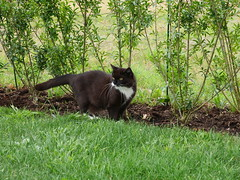 Tussi the great hunter... (vanstaffs) Tags: tussi tuzz tuxedocat t tux tusse tutu tuzz® myprettytuxedogirl