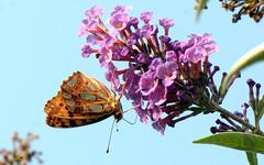 Queen of Spain Fritillary - Latonia, Piccola madreperla (Issoria latonia) (by emmeci) Tags: issorialatonia queenofspainfritillary latonia piccolamadreperla luglio parcodimonza cascinafrutteto