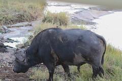 Oxpeckers on buffalo (sparverius81) Tags: synceruscaffer capebuffalo buphagus mammals mammal mamíferos mamífero nature naturaleza
