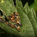 Hairy Shieldbug (Dolycoris baccarum) nymphs